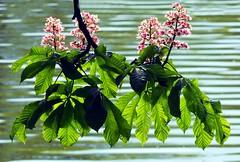 Horse chestnut in bloom (tina negus) Tags: horse lake flower macro tree lincolnshire bloom chestnut culverthorpe