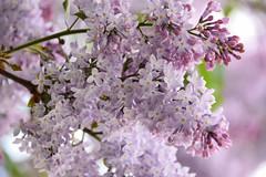Lilac (Maria Eklind) Tags: park city flowers summer flower green colors leaves graffiti se spring europe sweden outdoor sverige malm pildammsparken skneln sofielund lnngatan