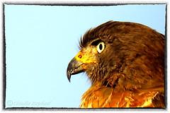 IMG_3757_edit (cnajhar) Tags: bird aves falcon predator falco predador