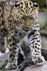 Young leopardess walking on the stone (Tambako the Jaguar) Tags: walking stone portrait approaching cute paw amur female young leopardess fluffy leopard big wild cat mulhouse zoo france alsace nikon d4