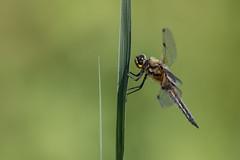 Dragonfly Macro (bohnengarten) Tags: insect eos schweiz switzerland dragonfly swiss libelle insekt libellula thurgau vierfleck quadrimaculata 80d segellibelle grosslibelle