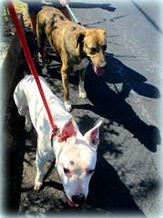 Sophia and Iwo (iravande) Tags: pets dogs spain perros mixture javea amstaf dogpound perrera espanja nokillshelter apasa