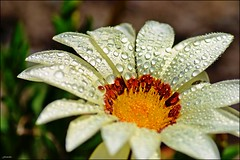 Gerbera (franciska_bosnjak) Tags: flower nature drops nikon outdoor gerbera d3100