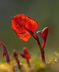 Being served.jpg (Kurt Braeckmans) Tags: plant macro nature closeup leaf outdoor 100v10f 100mm l f28 100mmf28l