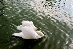 In the city park. (Svitlana Clover) Tags: park white lake bird water swan pond sonynex6