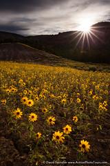 Flowers in the Desert (David Swindler (ActionPhotoTours.com)) Tags: yellow backlight utah sunburst wildflowers escalante grandstaircase sunstar arnica heartshapedarnica