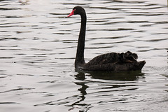 P1050860 (@webziggy) Tags: park black bird birds swan hyde swans hydepark kensington blackswan kensingtongadens