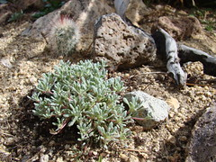 Eriogonum caespitosum DSC09061 (sierrarainshadow) Tags: nv washoecounty eriogonumcaespitosumeaglecanyon
