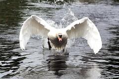 ND6_2589 (charlesvanlangeveld) Tags: white swans witte zwanen zwans