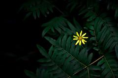 Untitled (Yuta Ohashi LTX) Tags: plant flower yellow nikon f14 voigtlander d750  botanicalgarden 58mm nokton      focallens