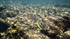 Kailua Pier Diving - VIII (Anders Magnusson) Tags: water hawaii snorkel dive diving olympus thebigisland eastcoast kailua kailuakona andersmagnusson