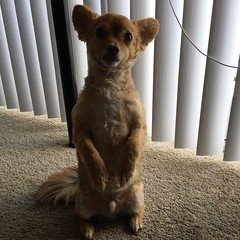 Mar 31, 2016 (mikedemers) Tags: shadow dog chihuahua daily prairie pomchi