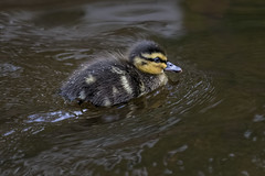 Duckling 2016-05-22 (6D_8299) (ajhaysom) Tags: scotland duck edinburgh duckling leith canoneos6d sigma120400