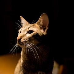 Chat Savannah / Savannah cat (Mad Blike) Tags: portrait cat chat f14 panasonic chiaroscuro summilux wideopen clairobscur panasoniclumix savannahcat mirrorless pleineouverture microfourthird mirrorlesscamera leicadgsummilux25f14 microquatretiers panasonicgx7 chatsavannah
