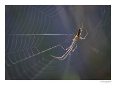 Pholcus phalangioides (JG Photographies) Tags: france macro nature french europe allier auvergne insecte araignée canon7dmarkii jgphotographies