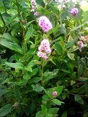 . Flowers (lubovhoney) Tags: pink flowers summer flower walking flowerpower picturethis   flowerrs