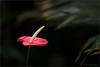 Anthurium (klaus.huppertz) Tags: stuttgart plant flower blume anthurium flamingoblume zoo wilhelma pflanze natur nature botany botanik rot red contrast kontrast flora fantasticnature blossom spiritofphotography nikon nikond750 d750 nikkor 300mm