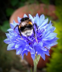 Whitetail on a Cornflower (hutchyp) Tags: flower insect flora wildlife hampshire bee bumblebee cornflower whitetail warsash
