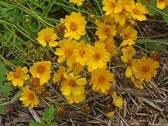 DSC00682 (gregnboutz) Tags: flowers flower macro yellowflower macros springflowers yellowflowers brightflowers macroflowers macroflower bloomingflower bloomingflowers colorfulmacros