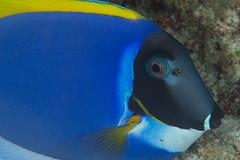 similan-diving-safaris.com:powder blue surgeonfish.jpg alt=Powder Blue Surgeonfish :> (similandivingsafaris) Tags: ocean fish macro water coral thailand aqua scuba diving scubadiving corals khaolak andamansea underwaterphotography liveaboard similanislands kohbon kohtachai dolphinqueen worldfamousrichelieurock similanexplorer