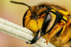European Wool Carder Bee I (Dalantech) Tags: macro insect lavender insects bee topaz macrophotography woolcarder topazlabs
