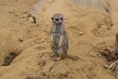 Zoo_Do_2016-44.jpg (Wotan1081) Tags: zoo dortmund tier erdmnnchen