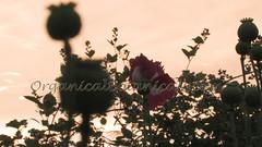 Danish Flag Papaver Somniferum Opium POPPY Pods n Flowers by- OrganicalBotanicals_Com 21 (gjaypub) Tags: flowers plants nature silhouette photography pod photos gardening bees seed seeds poppy poppies growing opium pods cultivation papaver somniferum morphine cultivating papaversomniferum 2016 potency poppyhead alkaloids organicalbotanicals