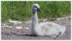 Gewachsen ... (Harald52) Tags: tiere natur vgel schwan