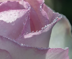 This must be a Rose. (Omygodtom) Tags: pink windows streetart macro texture nature rose zeiss wow outdoors nikon pedal raindrop tamron90mm d7100 macromonday