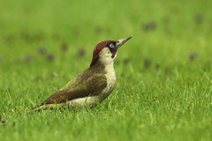 Green Woodpecker  Picus viridis (Roger Wasley) Tags: birds europe european gloucestershire woodpeckers picusviridis greenwoodpecker gretton