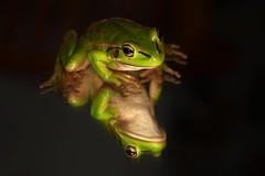 IMG_9314 (2) (Roving_photographer) Tags: newzealand green frog northland kerikeri aurea introduced litoria