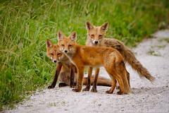 Red Fox Family (EllieJanie Maybelline) Tags: de fox delaware lucille nationalwildliferefuge canon100400 redfox nwr bombayhook foxfamily canon7d mybestfoxphotoeversofar