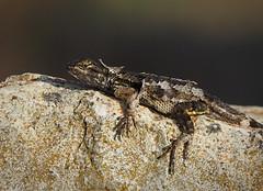 Lizard Shedding Skin (Ingrid Taylar) Tags: california rock skin reptile wildlife shed olympus lizard molt shedding herps omd moulting fencelizard molting em1