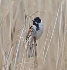 Reed Bunting (Emberiza schoeniclus) M (drbut) Tags: bird outdoor wildlife warren worcester upton buntings emberizidae reedbunting emberizaschoeniclus natureresereve