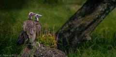 Ethiopian Vulture (Peraion) Tags: africa green bird grass beak treetrunk vulture ethiopia