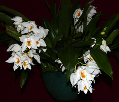 Coelogyne mooreana 'Brockhurst' species orchid (nolehace) Tags: spring nolehace 416 flower bloom plant fz1000 coelogyne mooreana brockhurst species orchid sanfrancisco