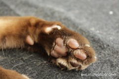 Toe Beans (HLM's Photography) Tags: brown cute love home beautiful animal loving cat fur happy photography furry kitten perfect toes photographer gorgeous adorable like fluffy happiness follow caramel paws lovely perfection claws purrfect ammeter multitonal toebeans