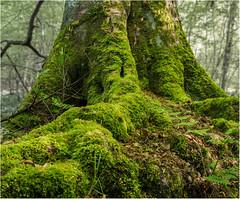 Mossy Tree Stump (StevenMBeard) Tags: trees nature scotland moss woods eastlothian yester yesterpath
