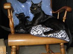 the Prince and the Warrior by QFS_mlp (QueenFaeeStudio) Tags: cats felini gatti mici katze gatos blackcat catseyes black nero gatto blackcats gioco game fun havingfun canon