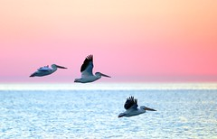 Pink Sky (imageClear) Tags: pink color pelicans nature beauty birds wisconsin sunrise dawn fly aperture nikon flickr earlymorning lakemichigan lovely sheboygan photostream bif 80400mm americanwhitepelican d600 imageclear