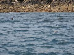 Seals! (helbelgu) Tags: isles scilly