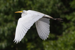 great egret 6-26-2016-102 (Scott Alan McClurg) Tags: life blue wild summer portrait sky sun white bird nature water animal fly flying back pond backyard glow wildlife flight bluesky neighborhood landing ardea eat wetlands land algae gliding flapping eatting flap stalk stalking greategret naturephotography glide ardeidae aalba