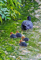 Coots and chicks, Stourhead, Wiltshire (Miche & Jon Rousell) Tags: trees lake gardens landscape stourhead chicks wiltshire nationaltrust coot stourheadhouse