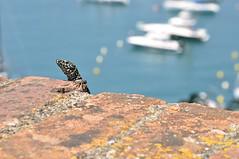 lucertola al castello. (LucaBertolotti) Tags: nature lucertola lizard reptile rettile barche boats mare sea lerici liguria italia italy