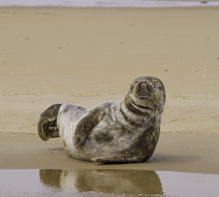 furry pup (Kerryjal) Tags: wildlife north norfolk seal pup common colony blakeney