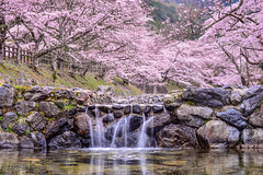 (DSC_2728) (nans0410(busy)) Tags: water japan cherry outdoors spring scenery kyoto stream blossom   sakura kansai   kameoka     kinkiarea