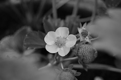 Little garden (jo_kulik) Tags: flowers plant macro flora strawberries