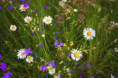 Some other summer... (petrapetruta) Tags: daisy colorful june wild