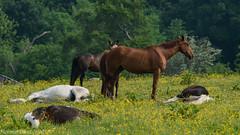 good day sunshine - how many horses do you see? (RCB4J) Tags: summer horses sunlight art photography scotland spring grazing basking ayrshire lazing sigma150500mmf563dgoshsm ronniebarron rcb4j sonyilca77m2