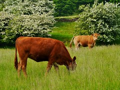 Nervous cow... (Keefy243) Tags: grass cows feeding bushes hawthorn urinating bradfield mayflowers peakpark sheffieldsouthyorkshireuk